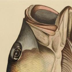 European bass head