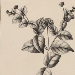 Boerhaavia Arborescens
