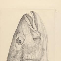 Atlantic pollock head