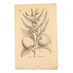 Citrus Aurautium