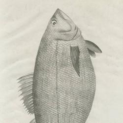 Common mora