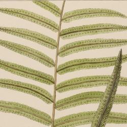 Tectaria Fraxinea