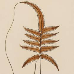 Trichomanes Rhizophylla