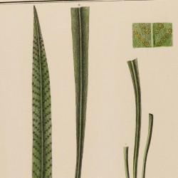 Polypodium Longifolium