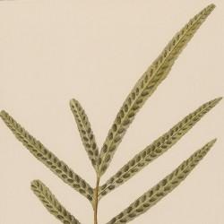 Polypodium Grammitis