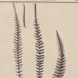 Woodwardia Caudata