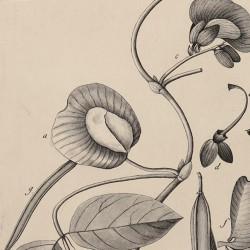 Clitoria Speciosa