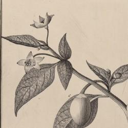 Capiscum Violaceum