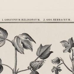 Gossypium Religiosum Gos Herbaceum