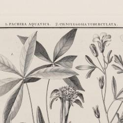 Pachira Aquatica Cienfuegosia Tuberculata