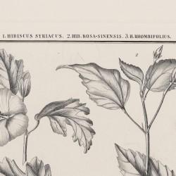 Hibiscus Syriacus Hib Rosa-Sinensis Hib Rhombifolius