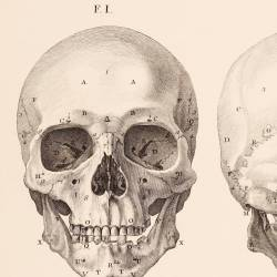Bones II. From the head, anterior and posterior region...