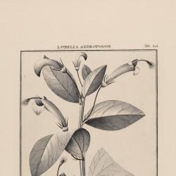 Lobelia Mucronata