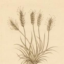 Plantago Subulata
