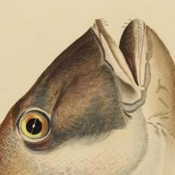 Sea Bream's Head